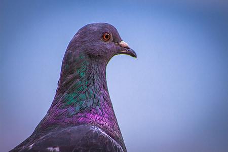 Paloma, vták, Príroda, voľne žijúcich živočíchov, zviera, prírodné, South