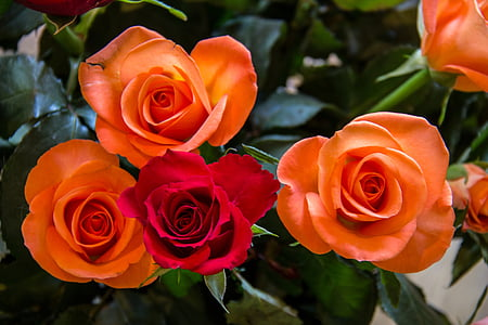 roses, rouge, orange, fleur, rose rouge, Blossom, Bloom