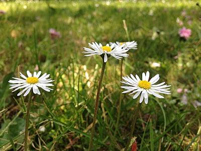 marjetice, cvet, pomlad, vrt, narave, marjetica, trava