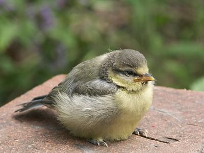 bird, blue tit, young bird, songbird, birds, young animal, small bird