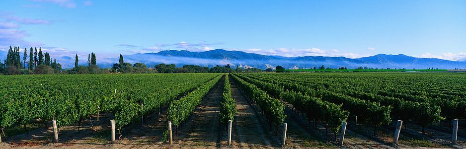 zelený čaj plantáž, deulbat, scenérie, Príroda, agricultire, Panorama, poľnohospodárstvo