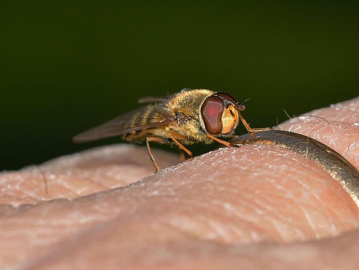 insectes, dípters, episyrphus