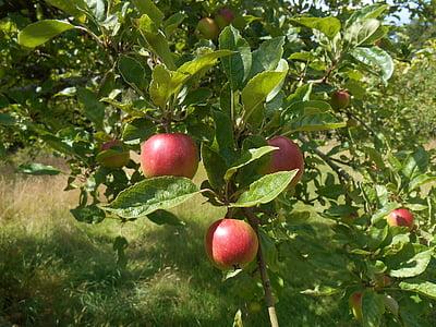 Õunapuu, puu, Orchard, õunad, Aed, toidu, suvel