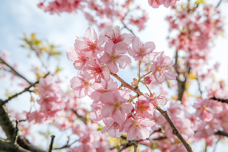 cherry blossoms, pink, natural, kawazu, japan