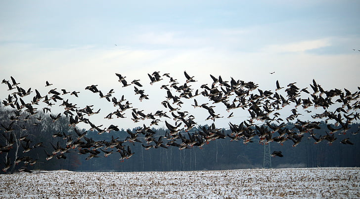 ngỗng hoang dã, mùa đông, tuyết, loài chim di cư, swarm, ngỗng, chim