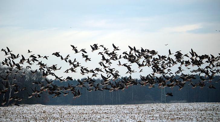 vilde gæs, vinter, sne, trækfugle, sværm, gæs, fugle