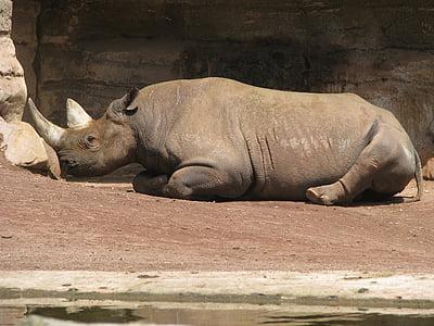 Rhino, relajarse, Siesta, recuperación, relajación, recuperar, resto