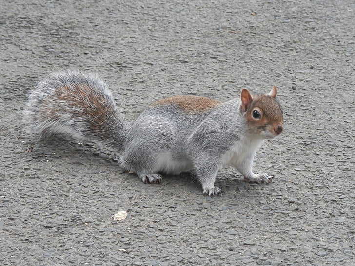 grey squirrel, squirrel, nature, fur, animal