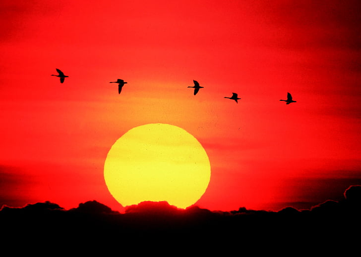 гъски, плаващи, залез, Ориндж, слънце, жълто, дива природа