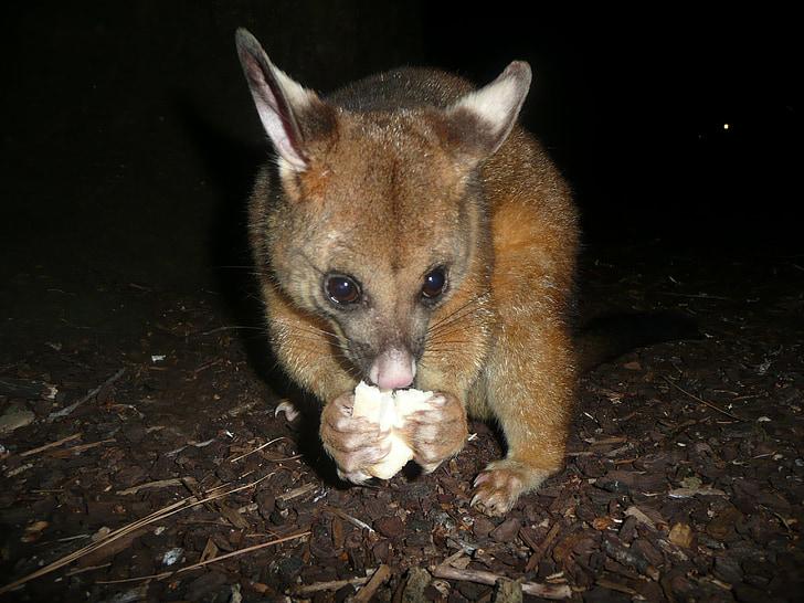 possum, rodent, park, green, nature, environment, view