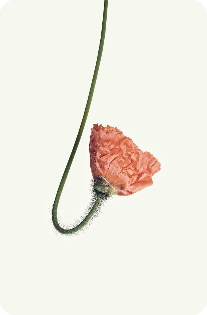 παπαρούνα, άνθος, άνθιση, λουλούδι, χλωρίδα, πορτοκαλί