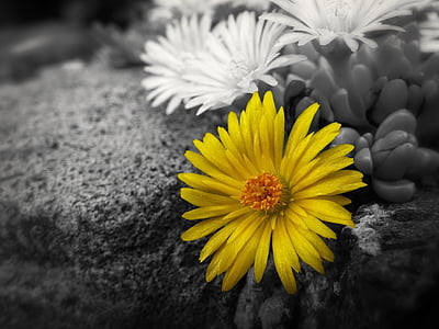 wallpaper, background, yellow flower, yellow, flower, garden, macro