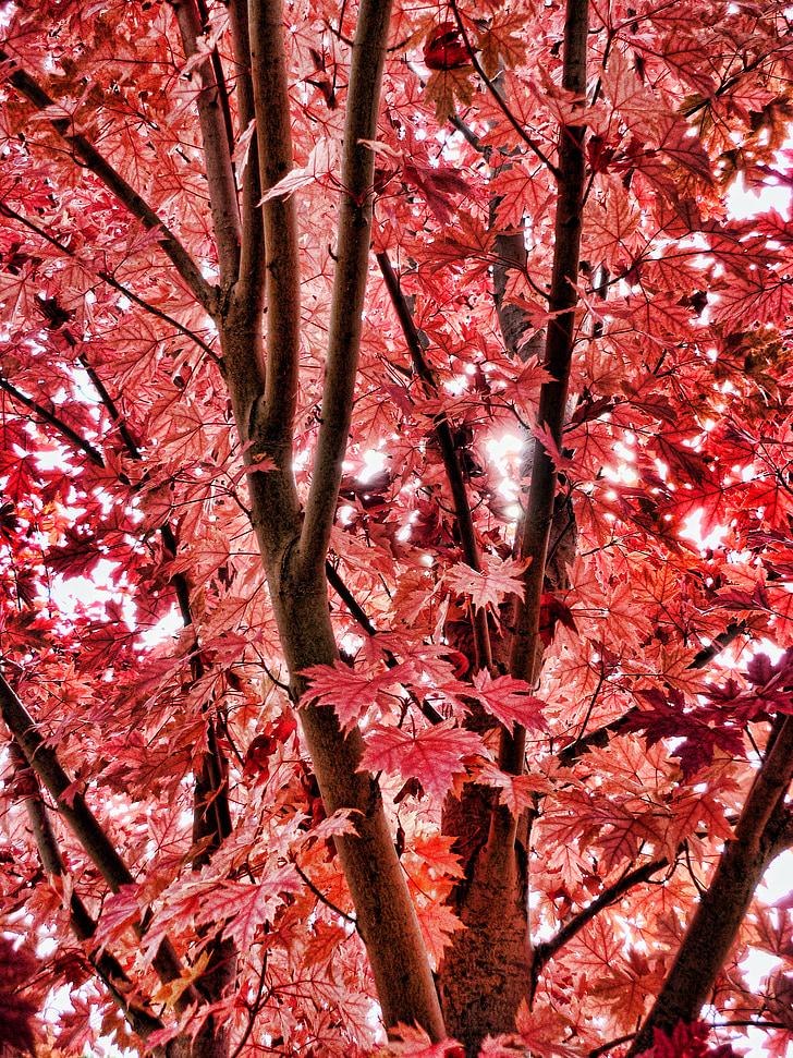 rudens, rudens lapas, sarkanām lapām, kritums, rudens krāsu