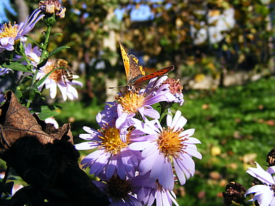 диви животни, насекоми, пеперуди, многоцветни, пеперуда, цветя