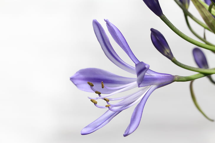 Agapanthus, Agapanthus africanus, õis, Bloom, armastuse lill, lill, Lily