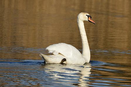 cisne, animal, aves acuáticas, cisne de whooper, natación
