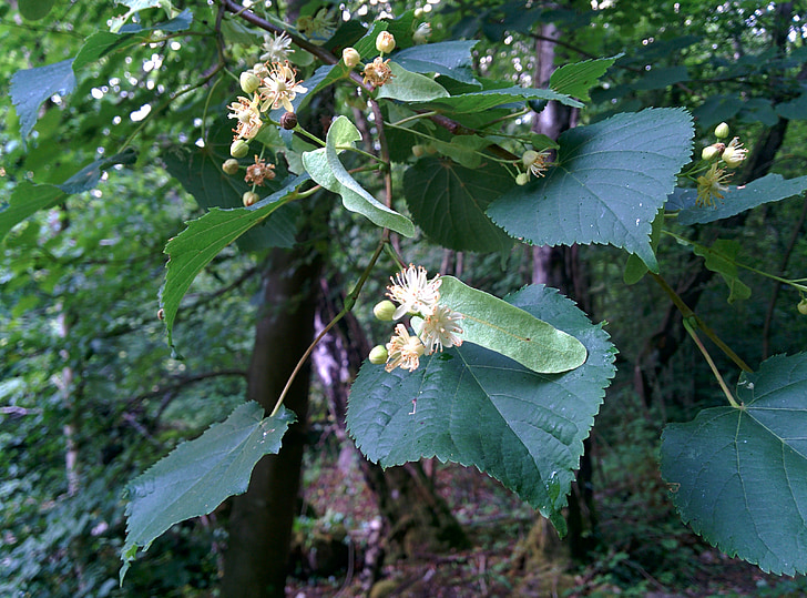 linden, lime flower, blossom, herbal, tree