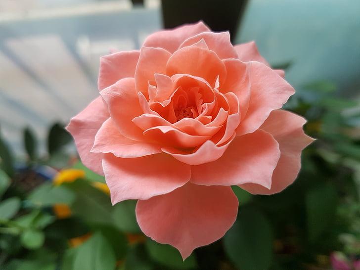 Rosa, Roses roses, flors, bonica, planta en test, Rosa, rosa Rosa