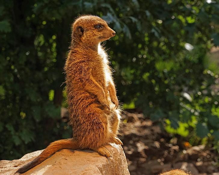 meerkat, bewakers, aandacht, in de gaten houden, Houd een oogje, horloge, één dier