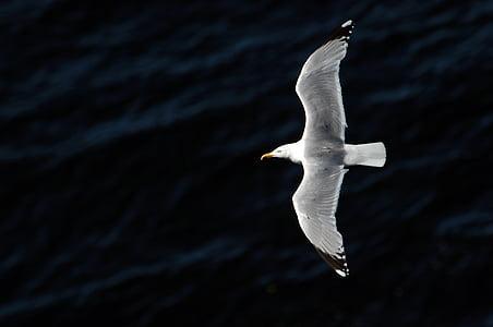 lokki, lintu, luonnon kauneutta, yksi eläin, valkoinen väri, eläinten Teemat, villieläimet