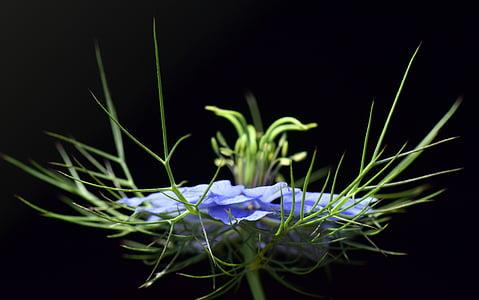 Virgin trong xanh, Nigella damascena, ở stauden gretl, Gretchen ở trong bụi rậm, Venus lông, cô dâu trong nhà kho lông, Damask đen cumin
