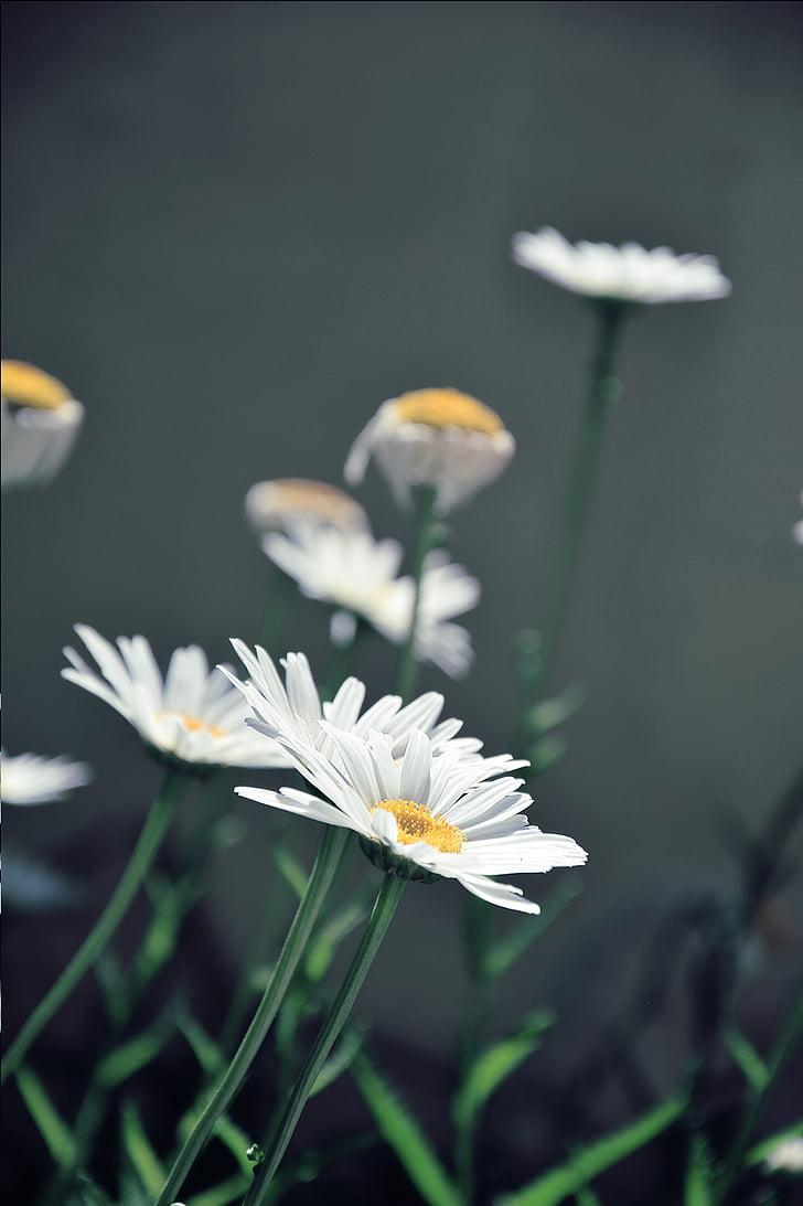 daisies, white daisies, flower, margaret, nature, spring, summer