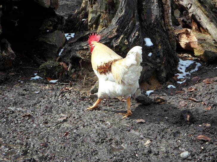 Hahn, Juokse karkuun, lintu, siipikarjan, Farm, kana