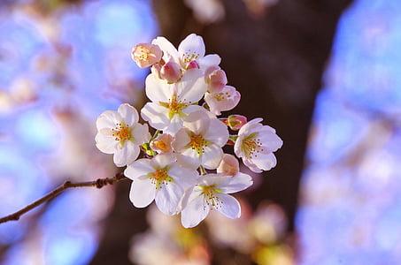 Sakura, Visualització de la flor del cirerer, abril