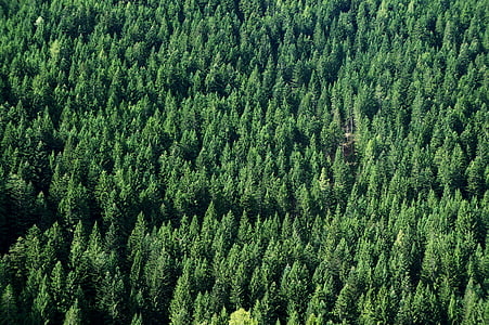 forest, firs, green, background, nature, periwinkle, landscape