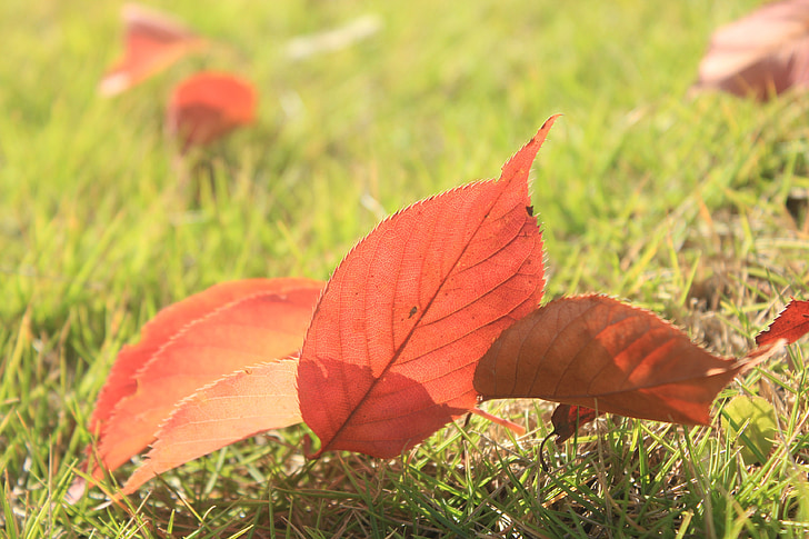 defoliation, red leaves, overlapping, autumn, properties, eason chan, grass