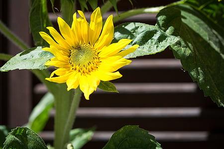 Sun flower, kollane, õis, Bloom, suvel, Sulgege, Aed