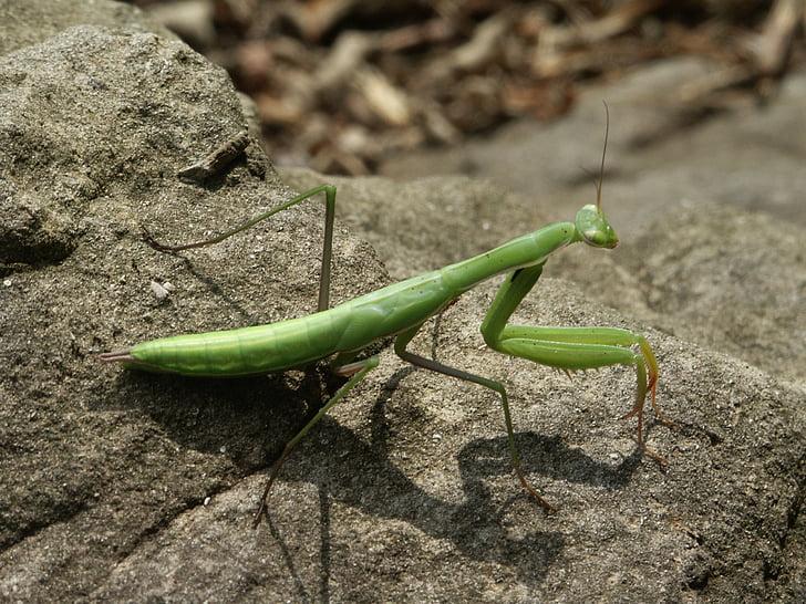 Mantis, insecten, natuur, insect, macro, Rock, groen
