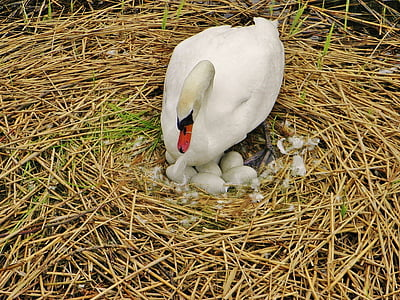 swan, sweltering swan, nest, swan eggs, egg, hatch