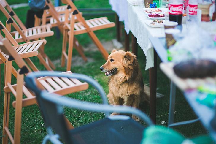 dog, sitting dog, sitting, table, under table, pet, animal
