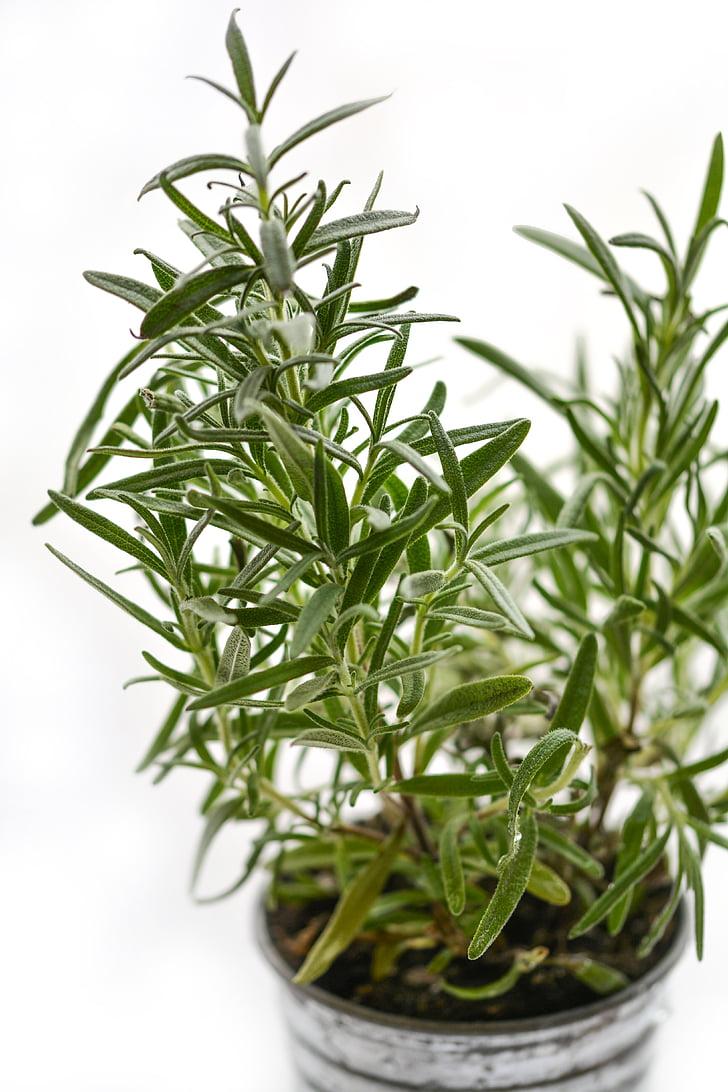 romaní, herba, a base de plantes, ingredient, fresc, Medicina, espècies