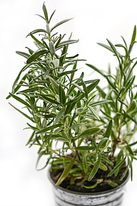 rosemary, herb, herbal, ingredient, fresh, medicine, spice