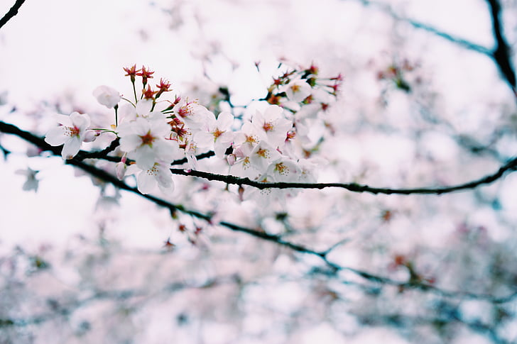 kecil segar, musim semi, Sakura