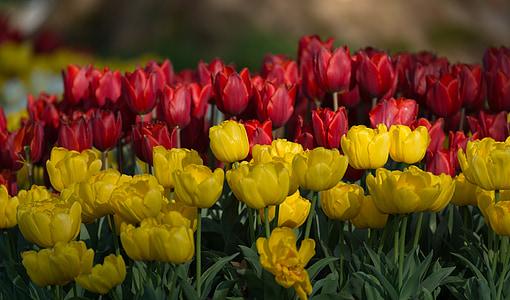 チューリップ, 花, 春, 花, イエロー, 赤, チューリップ畑