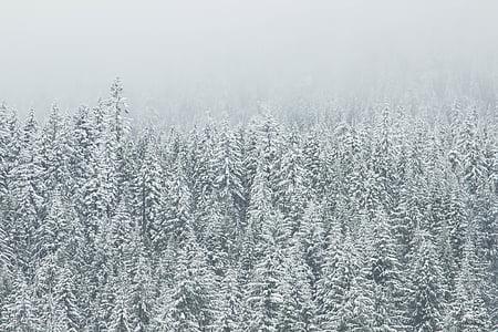 coniferous, conifers, evergreen, fir, fog, foggy, forest