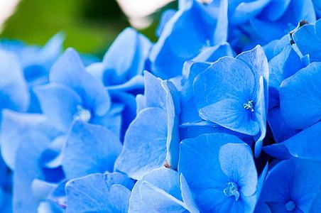 virágok, Hortenzia, szirmok, zöld, növény, Flóra, szépség
