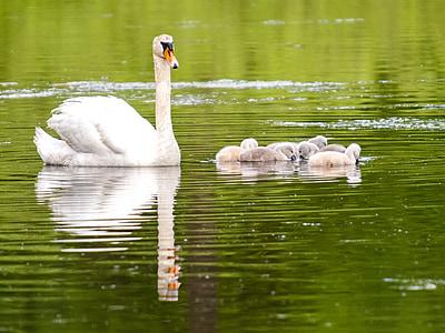 mute swan, swan, chicks, bird, water bird, nature, animal