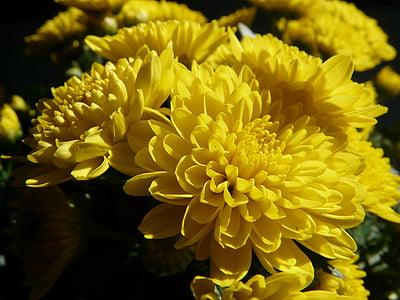 Aed krüsanteem, Chrysanthemum grandifloraum, Dendranthema grandiflorum, krüsanteem, dekoratiivtaimede, lill, Bloom