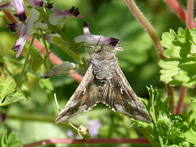 moth, lepidopteran, butterfly, moth giant