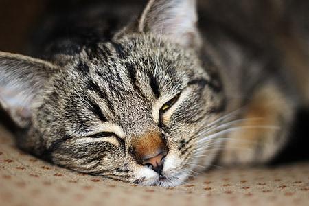 mačka, dvorištu mačka, mačka spava