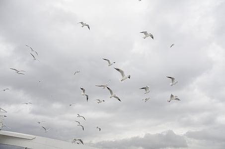seagull, sky, cloud, birds