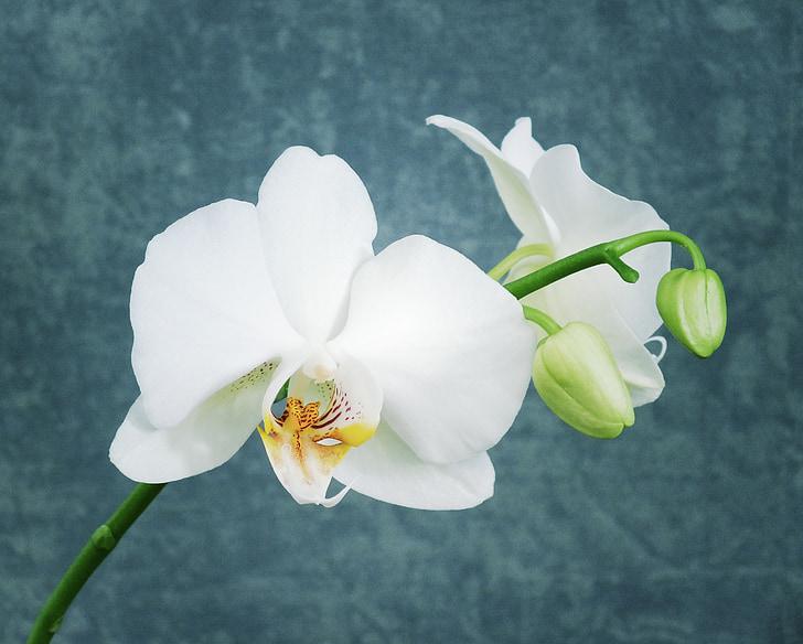 orchidée blanche, Orchid, fleur, blanc, brillant, plante, Zen