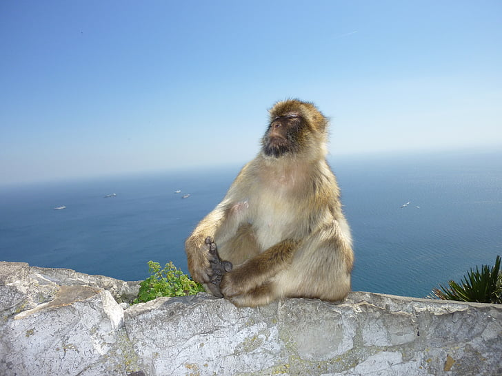 monkey, gibraltar, monkey mountain, self confidence