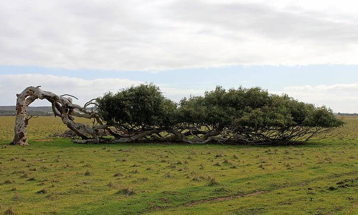 tree, lying, leaning tree, australia
