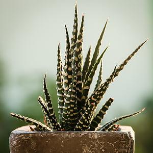 cactus, flora, verd, medicina alternativa, natura, planta, fitoteràpia