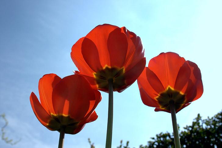 Rosella, torna la llum, vermell, blau, natura, klatschmohn, llum sobre